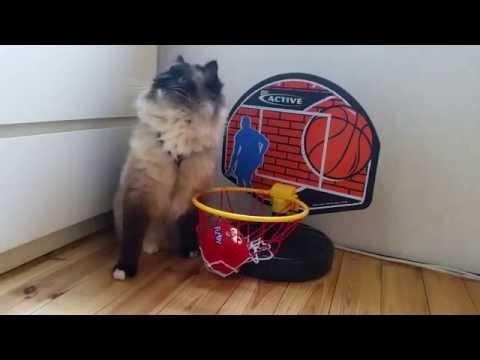 これはタヌキですか?いいえ、これは猫です!ラグドールの動画まとめ