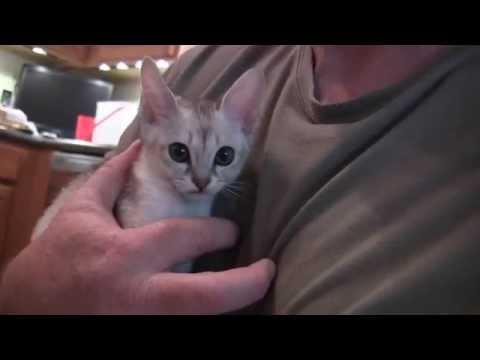 猫の世界ミニマム級王者!シンガプーラの動画まとめ