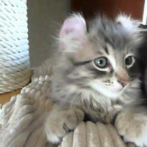 毛先ではなく耳がカールした猫!アメリカンカールの動画まとめ
